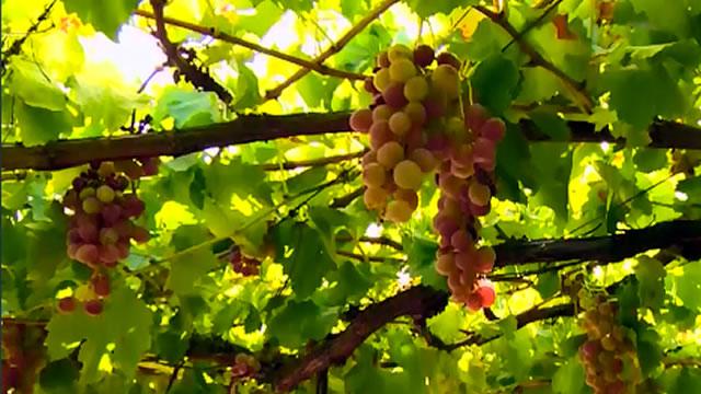 Grape Vines, Care and Maintenance for best results