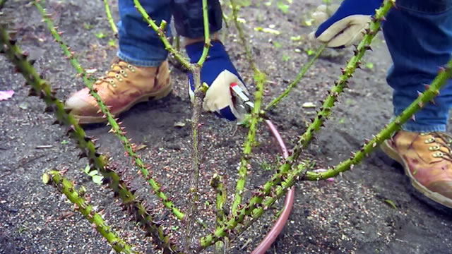 Rose Pruning at Centennial Park