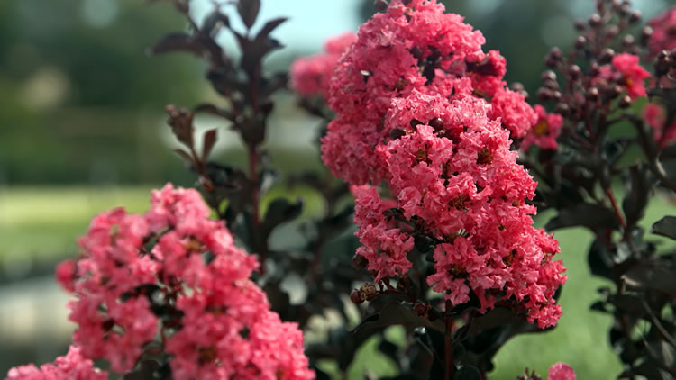 Diamonds in the Dark Crepe Myrtles